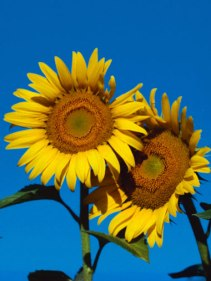Good-Mood-Sunflowers-1_0
