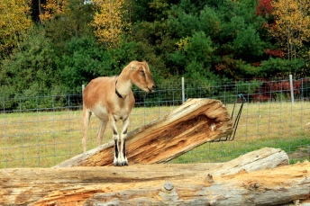 IMG_0605-earless goat